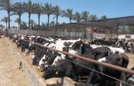 EGP 247 million allocated for veal project – official