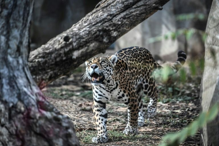 Brazil wetland fires threaten jaguar reserve